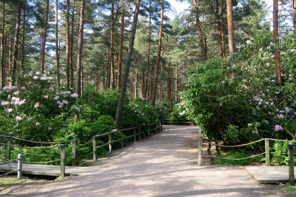 Rhododendrons in Helsinki